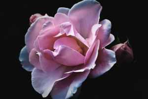 roses-flower-nature-garden-70851.jpeg